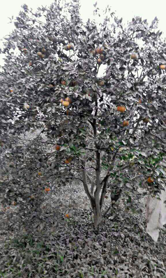 Crop failure: An orange tree belonging to a Karo farmer is seen covered by volcanic ash following Mount Sinabung's eruption on Wednesday.