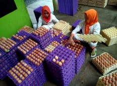 Workers sort the already cleaned eggs before being distributed to the market. JP/Ganug Nugroho Adi