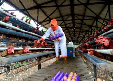 A farm worker picks eggs from chicken coop at the bio-security system Renaa Farm. The egg picker must wear special clothes before entering a special zone. JP/Ganug Nugroho Adi