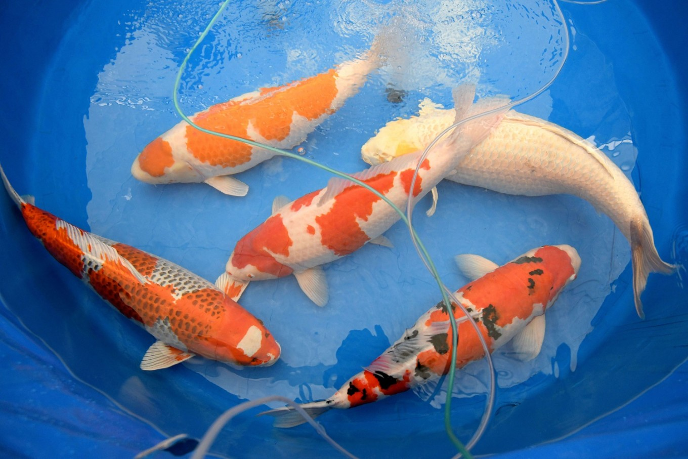 Koi story priceless japanese fish make a splash for Mini carpe koi