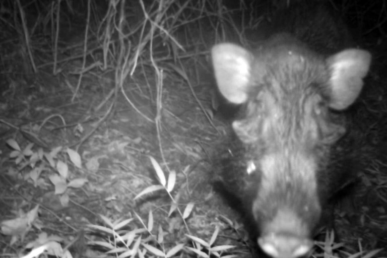 This handout from the Chester Zoo taken with a trap-camera on Jan. 24, 2017 and released on Jan. 5, 2018 shows an endangered Javan warty pig on Java island. (Agence France-Presse/Chester Zoo)