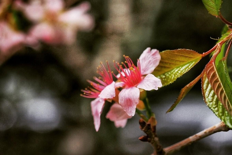 Cherry blossom lures visitors to Cibodas Botanical Garden