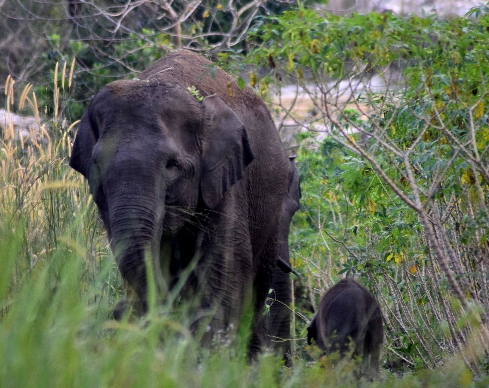 Wild elephant gives birth in wildlife reserve in Riau