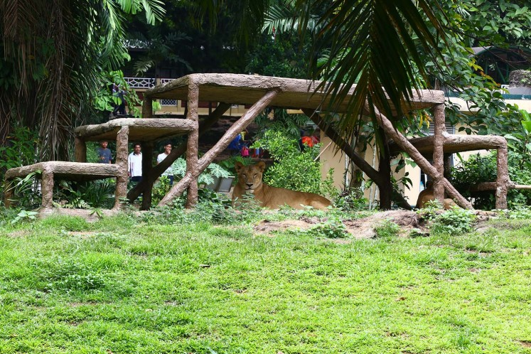 Ragunan Zoo is also home to several African lions.