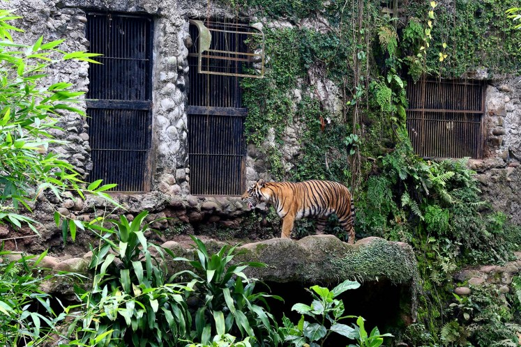 A Sumatran tiger at Ragunan Zoo.