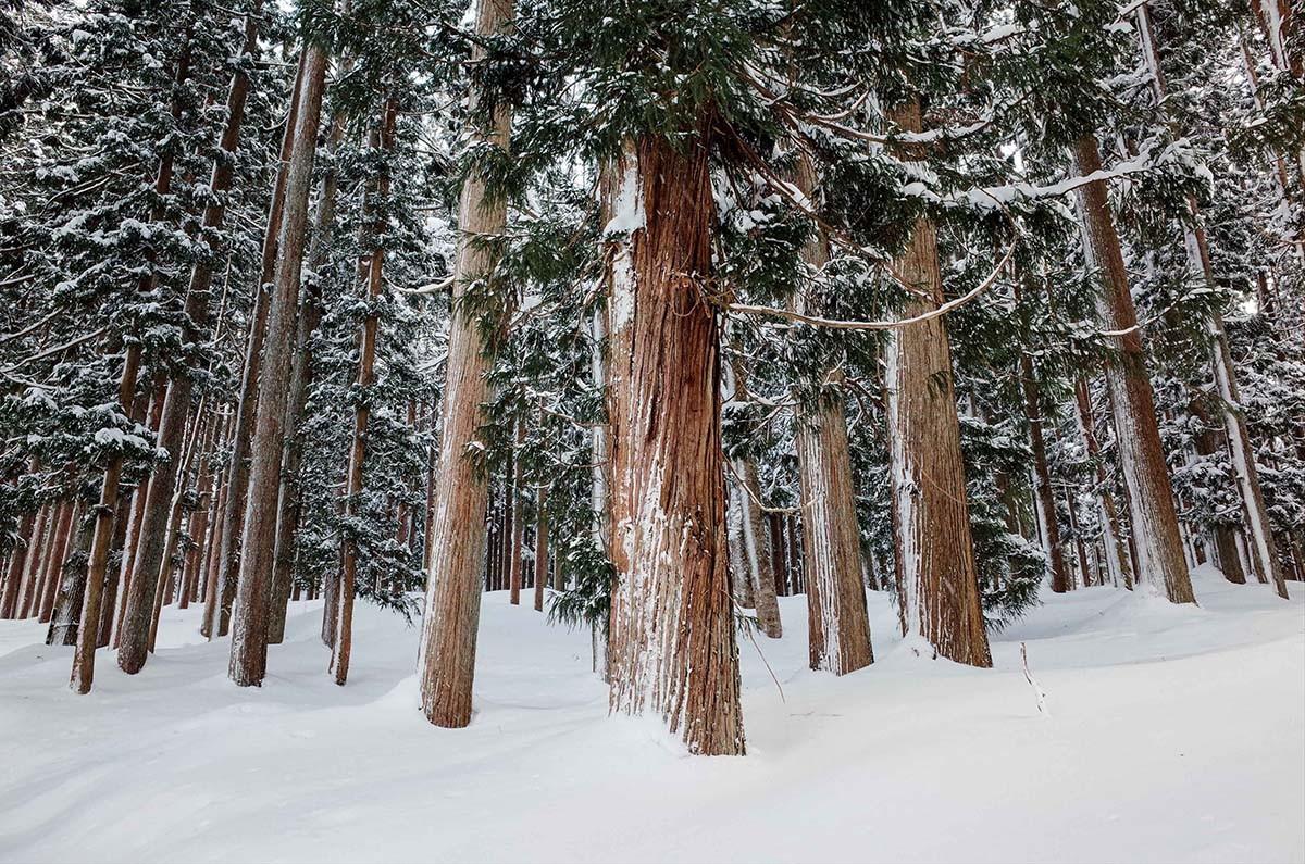 A pine forest lies behind Shirakawa-gō. JP/Anggara Mahendra