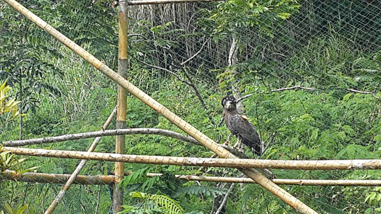 Back to speed: A crested serpent eagle perches on a branch in a rehabilitation enclosure near Mount Tumpeng in Kulonprogo regency, Yogyakarta. The protected species spent a week rehabilitating prior to its release into its natural habitat.