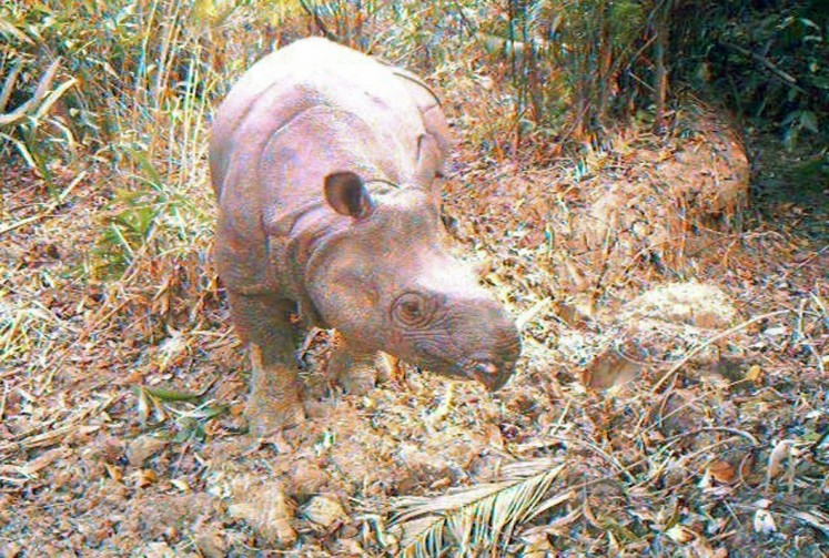 In this undated handout picture released by Ujung Kulon national park on December 30, 2011, a Javan rhino, part of a group of 35 critically endangered Javan rhinos, is seen at the Ujung Kulon national park. Hidden cameras in the jungles of Indonesia's Java island have captured images of 35 critically endangered Javan rhinos, including five calves, an official said December 30.