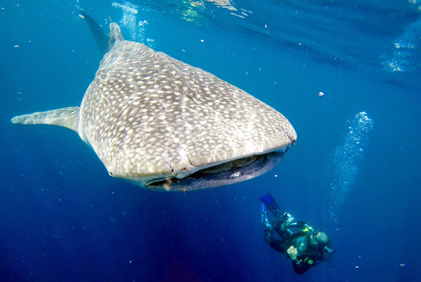 Does size matter? The charm of Papua's whale sharks