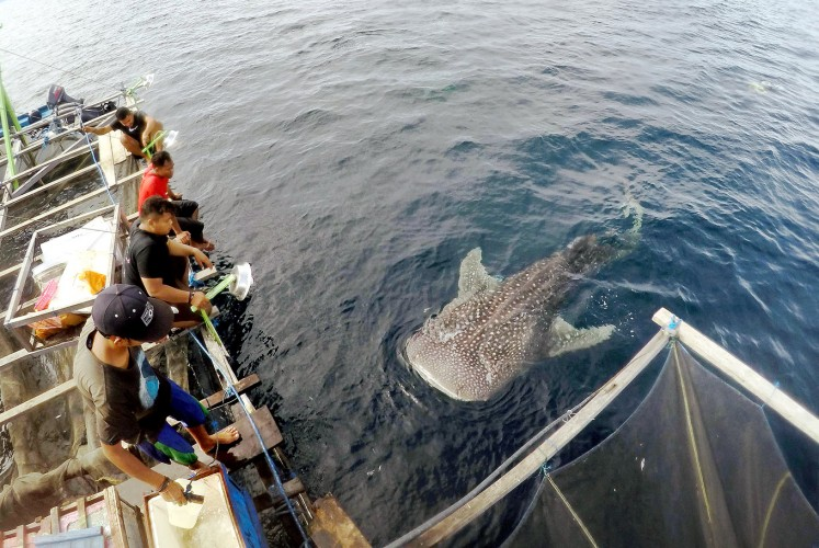I see you: A whale shark breaks the surface at Cendrawasih Bay National Park in Nabire, Papua.