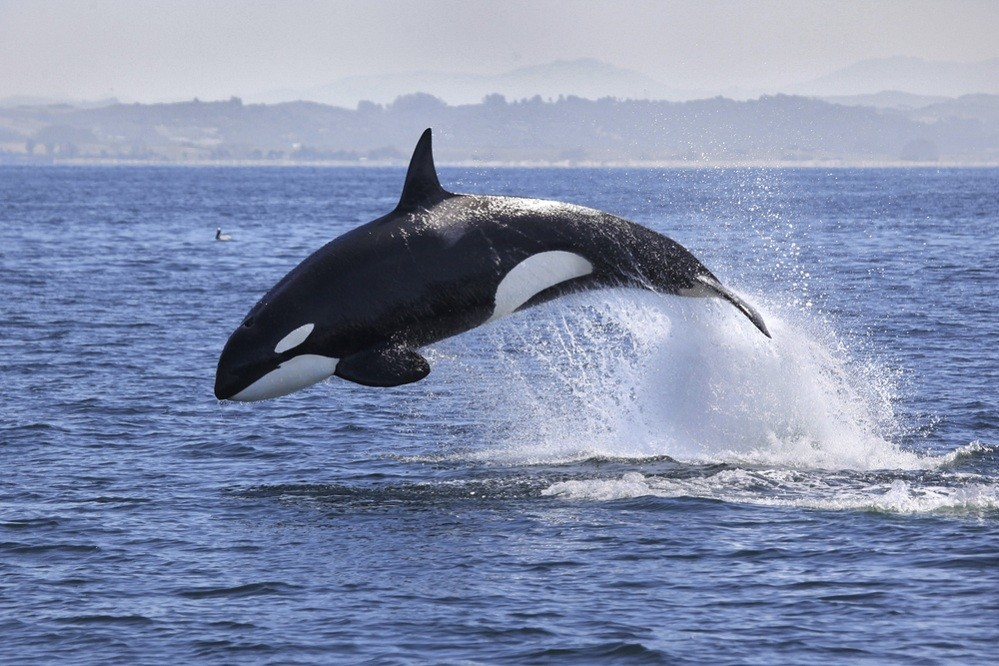 A whale with words: Orca mimics human speech