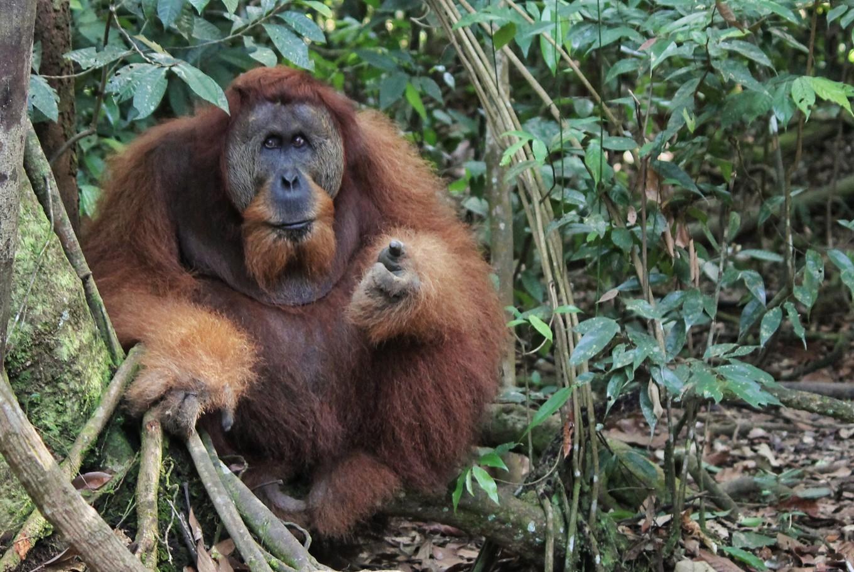 An orangutan in the Sumatran rainforest