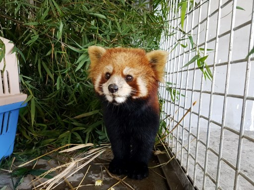 one of three red pandas at the Free The Bears sanctuary after being confiscated from wildlife traffickers, in the Laos city of Luang Prabang. Image: AFP/Handout / FREE THE BEARS