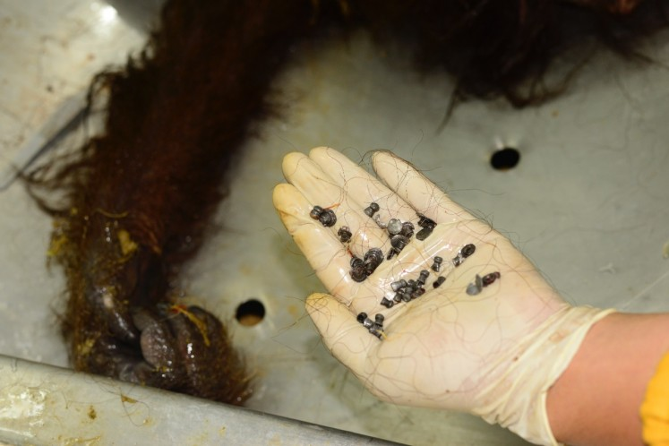 An officer shows airsoft gun pellets retrieved during the Feb. 6 autopsy of an orangutan in East Kalimantan.