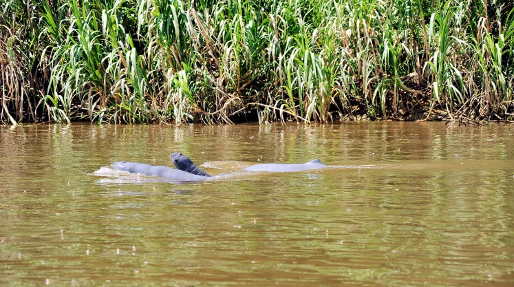 Mahakam dolphins at brink of extinction