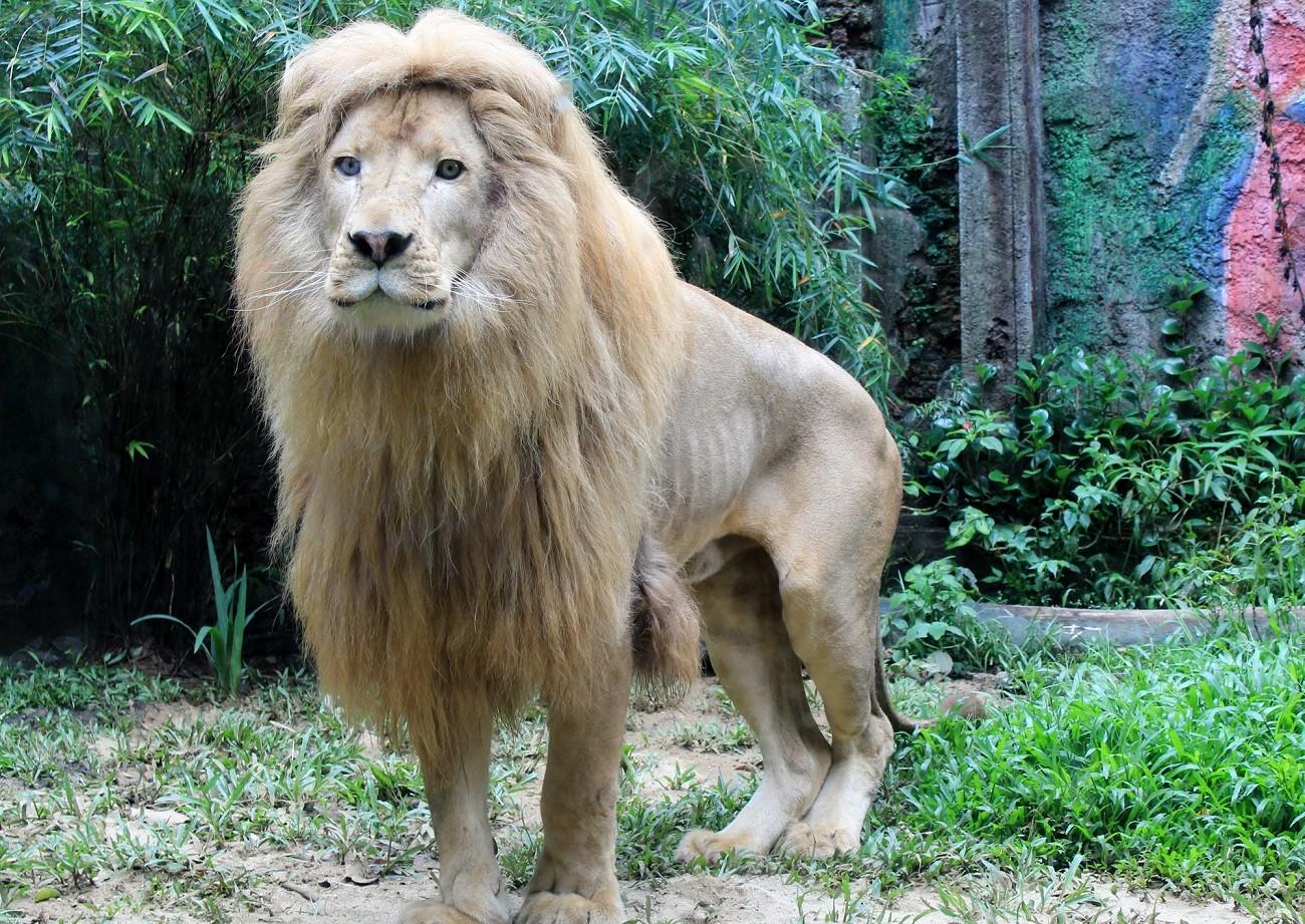 Six white lions introduced to Taman Safari on Imlek