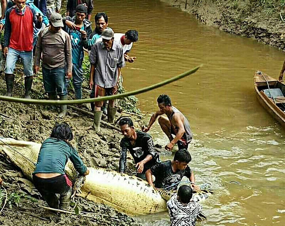 Third croc attack kills man; damaged habitat from illegal gold mining blamed