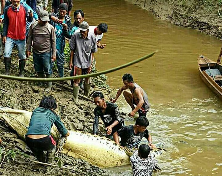 Mauled to death: Local residents prepare to cut open the stomach of a crocodile presumed to have killed a villager in Marukangan, Sandaran subdistrict, East Kutai, East Kalimantan.