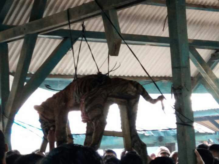 People look at a dead Sumatran tiger strung up on March 4 at the Hatupangan village hall in Mandailing Natal, North Sumatra. The local residents allegedly killed the endangered animal, even knowing its protected status, as they feared it was a.'siluman' (shapeshifter)