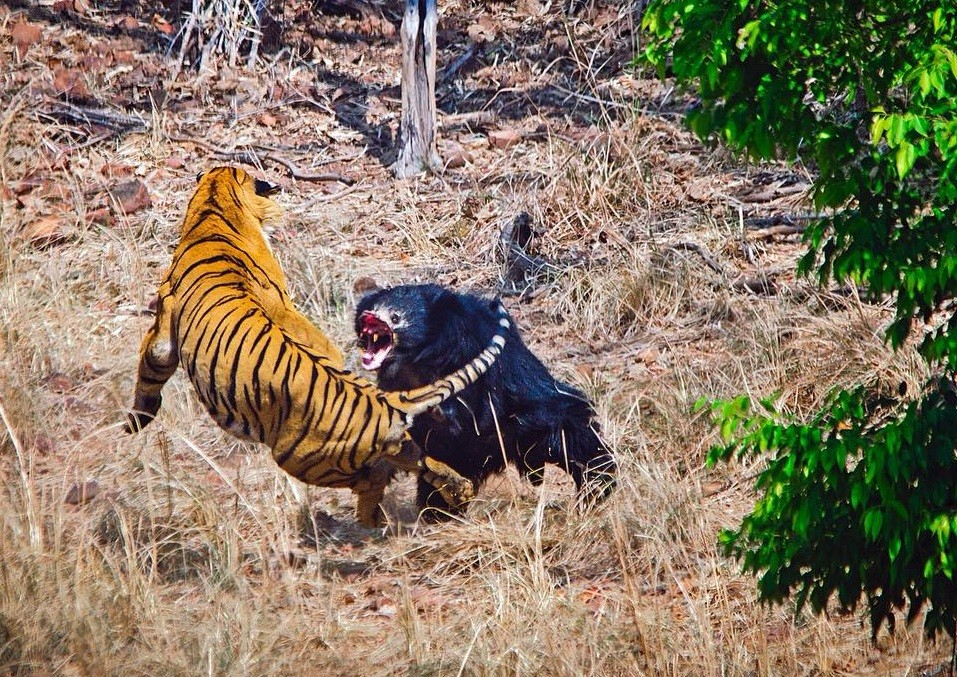 Rumble In The Jungle Mother Bear Fights Off Indian Tiger -7155