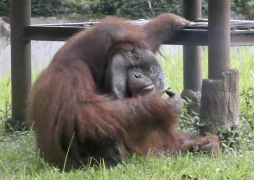 Bandung Police investigate 'smoking orangutan' animal abuse case