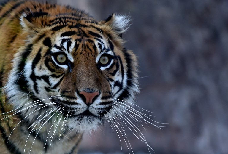 Footage of Sumatran tiger family in Riau raises conservation hopes