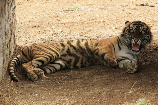 Rare Sumatran tiger found dead in Indonesia