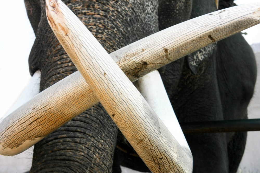 Singapore uproar over store selling ivory jewellery