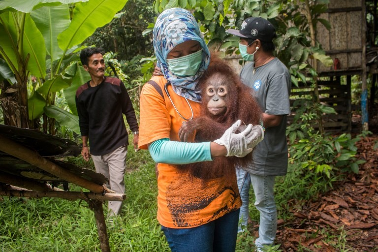 Seruyan villager arrested in connection with orangutan killing