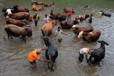 The ngguyang sapi (bathing the cattle) ritual is a moment for villagers to meet and chat. JP/Magnus Hendratmo