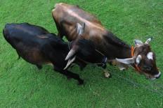 Cows are led across the field in Bunder village, Jatianom district, Klaten regency, Central Java. JP/Magnus Hendratmo
