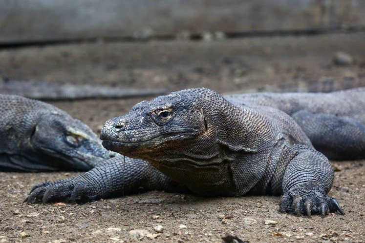 Commentary: Keep calm and save Komodo dragons