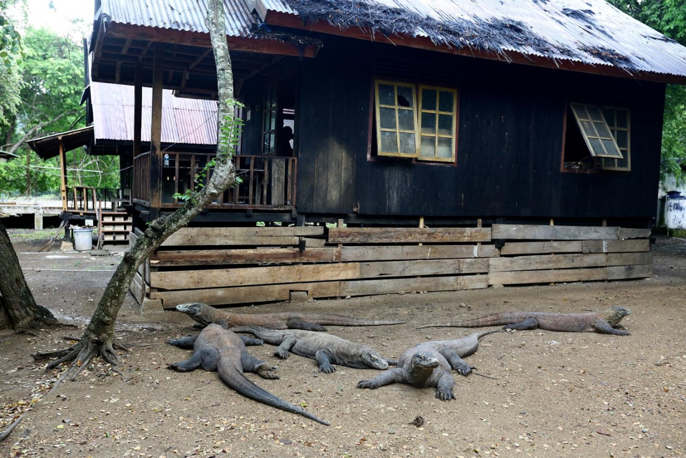 Ministry claims Rinca Island project won't endanger Komodo dragon population