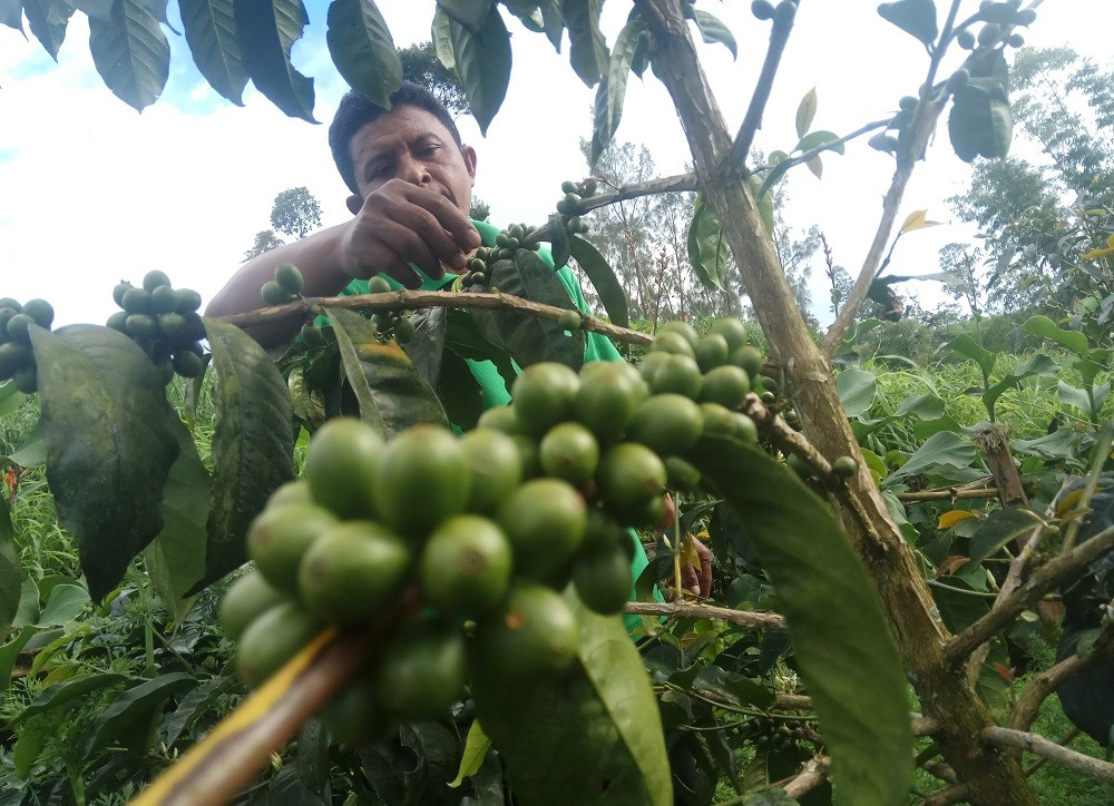Suwondo inspects his coffee plants, which will be ready to harvest in May.