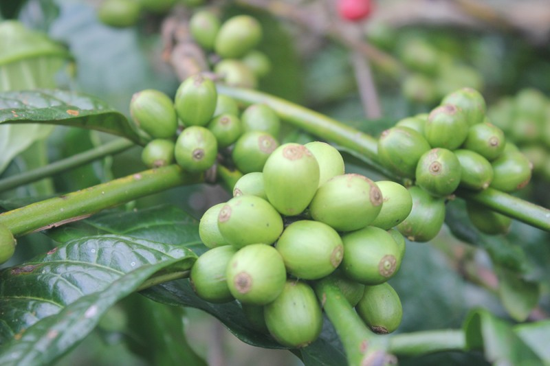Cibulao robusta coffee