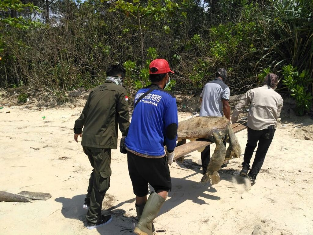 W. Kalimantan declares 'extraordinary event' over sea turtle deaths