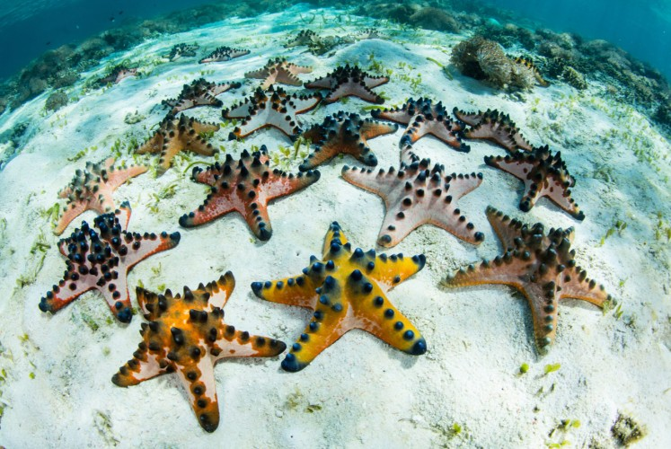 Colorful starfish live in a seagrass meadow in Komodo National Park.