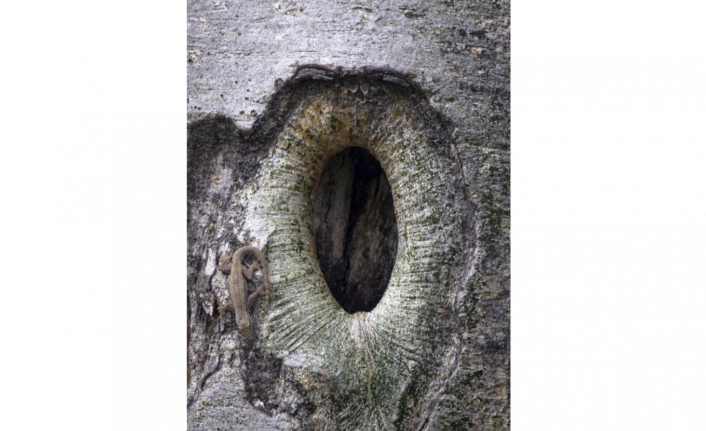 Home sweet home: A gecko appears near a tree hole. JP/ Tarko Sudiarno