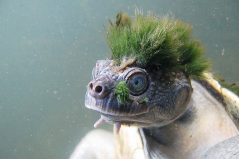 Punk, butt-breathing turtle joins unlucky club