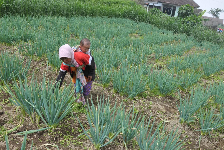 Child marriage norm on slopes of Merbabu, Merapi