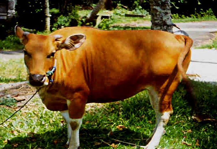 Bali cattle national asset that needs to be preserved