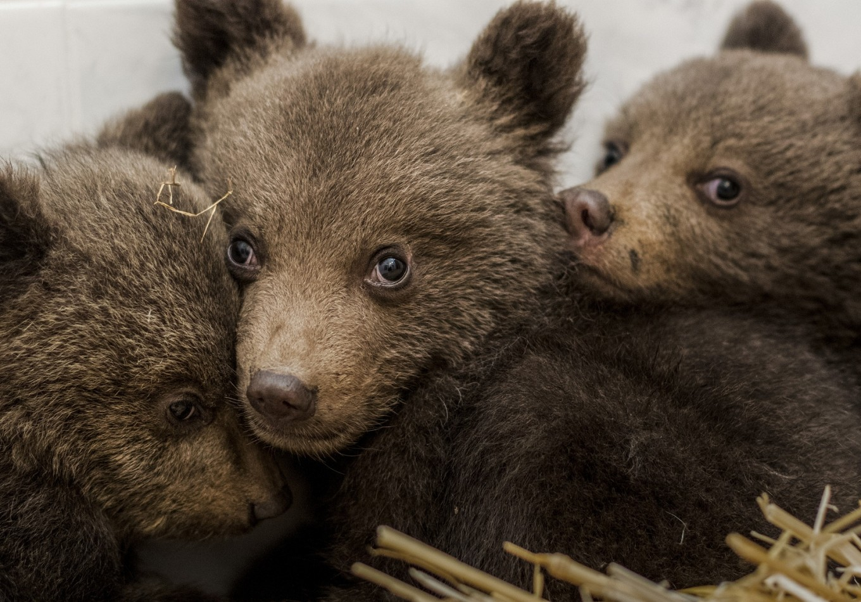 Where's mum? Three bear cubs rescued in Bulgaria