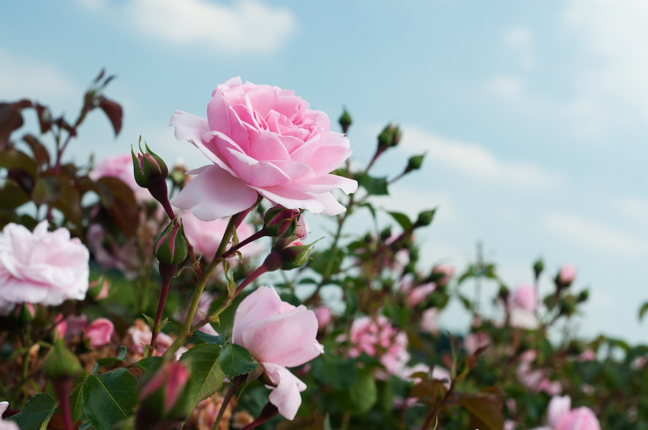 Bogor florists deplore prohibition of Valentine's Day celebration