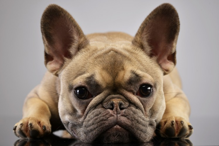 French Bulldog's cute face exposes it to welfare risks: study - Health -  The Jakarta Post