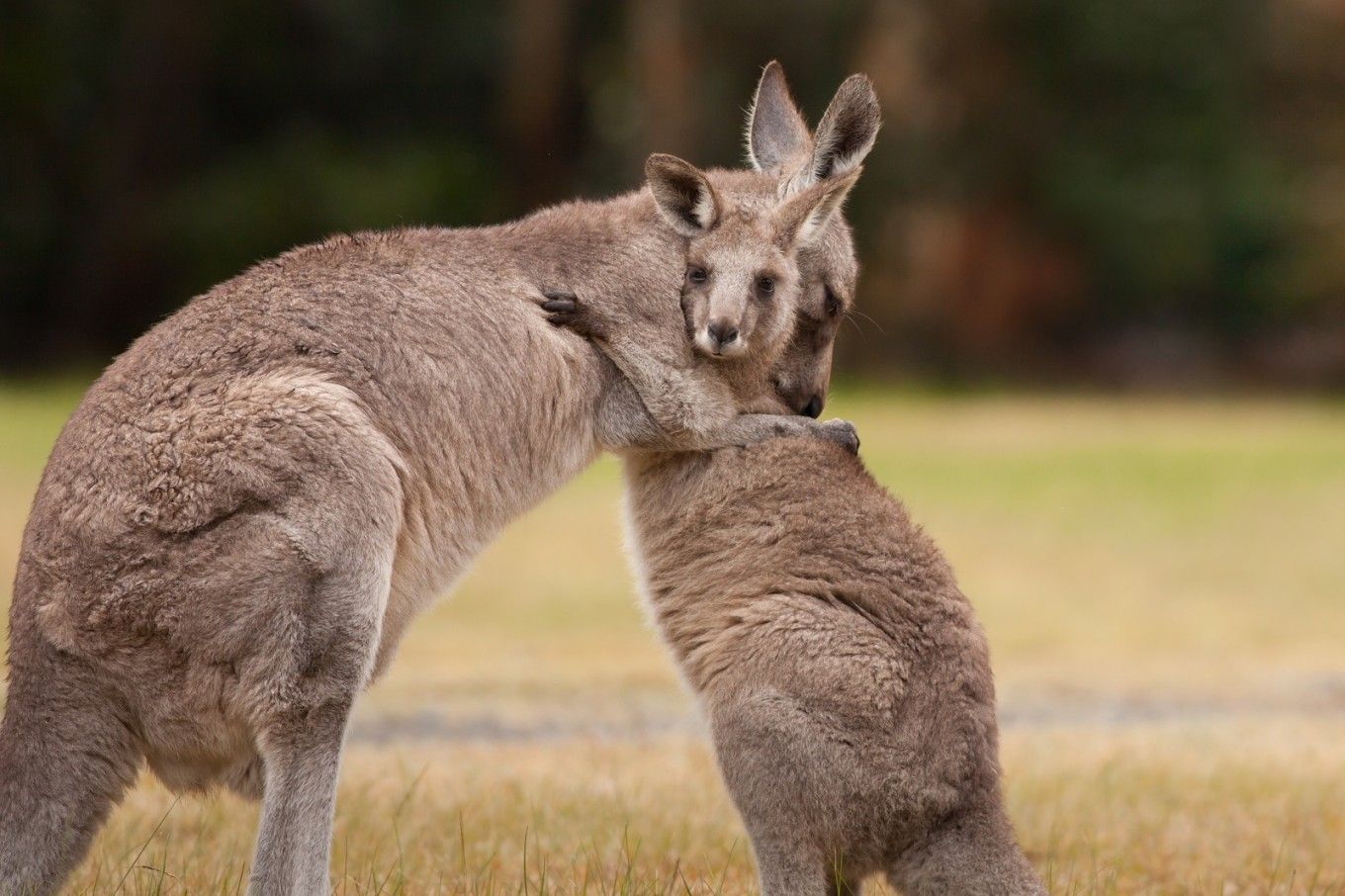Kangaroos can 'communicate' with humans, says study