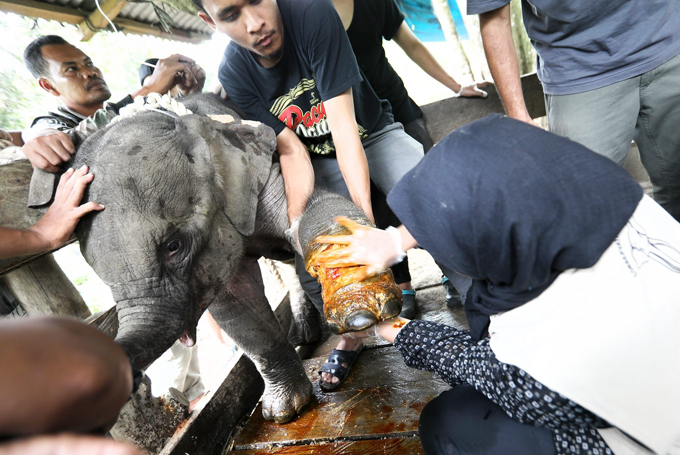 Endangered elephant calf caught in trap saved