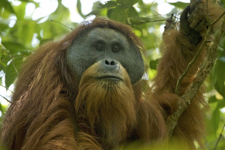 Male Tapanuli orangutan