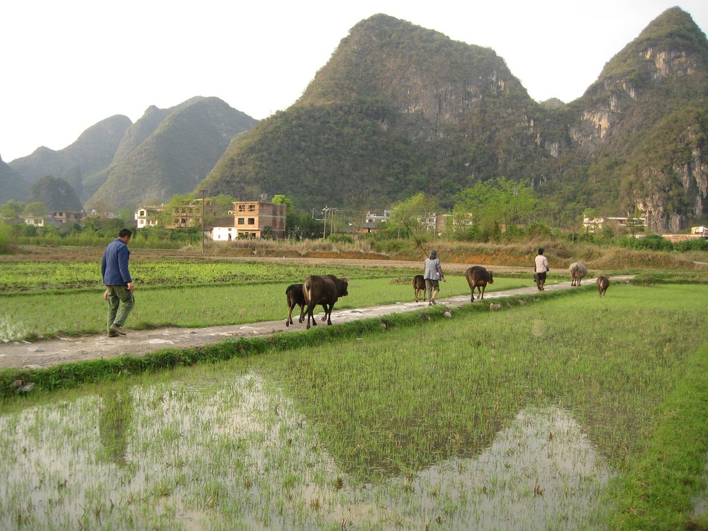 Another problem with China's coal: Mercury in rice