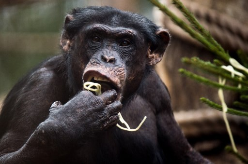 Chimps' cultural diversity threatened by humans, study says