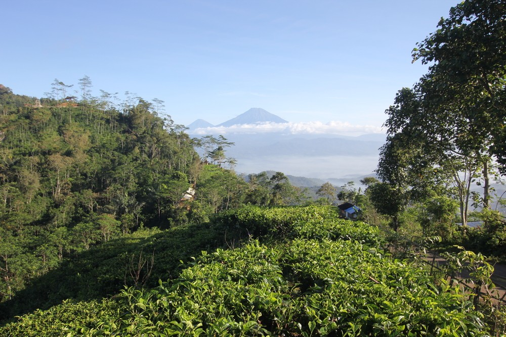 Nglinggo tea plantation to build viewing post
